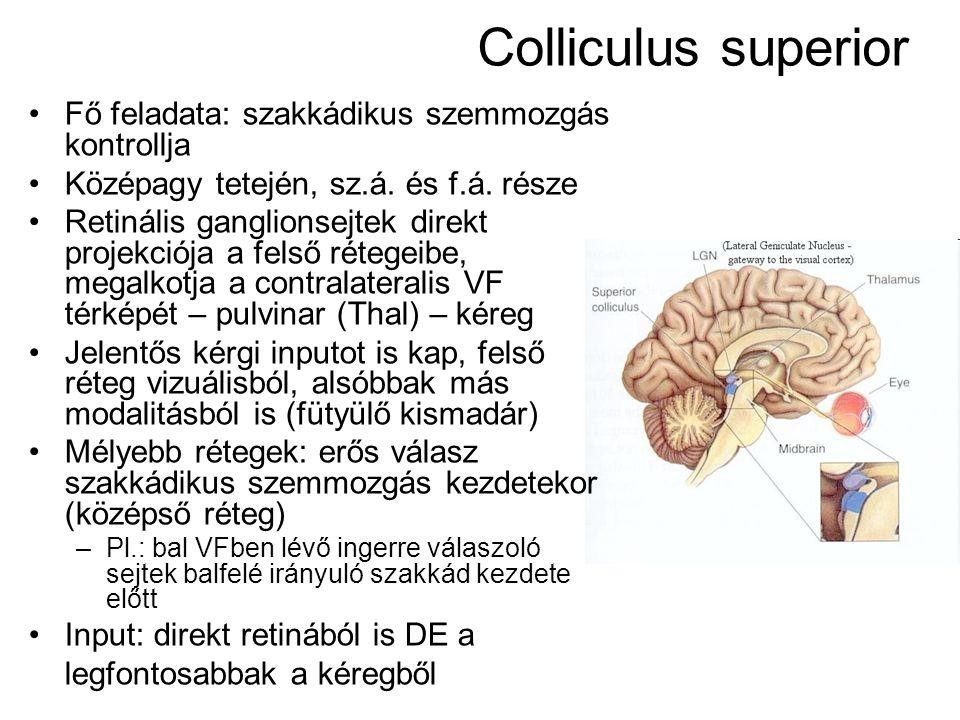Colliculus superior Fő feladata: szakkádikus szemmozgás kontrollja Középagy tetején, sz.á.