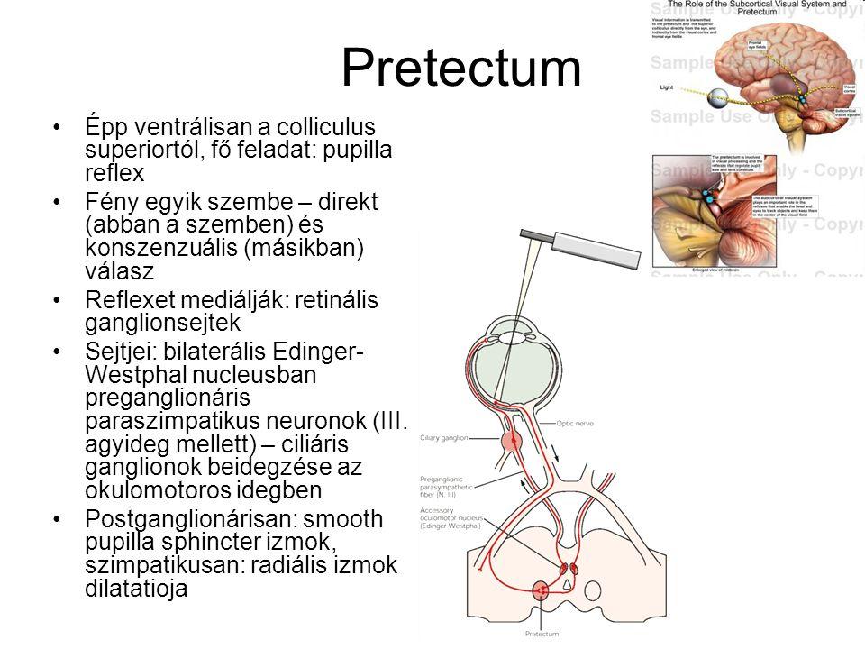 Pretectum Épp ventrálisan a colliculus superiortól, fő feladat: pupilla reflex Fény egyik szembe – direkt (abban a szemben) és konszenzuális (másikban) válasz Reflexet mediálják: retinális ganglionsejtek Sejtjei: bilaterális Edinger- Westphal nucleusban preganglionáris paraszimpatikus neuronok (III.