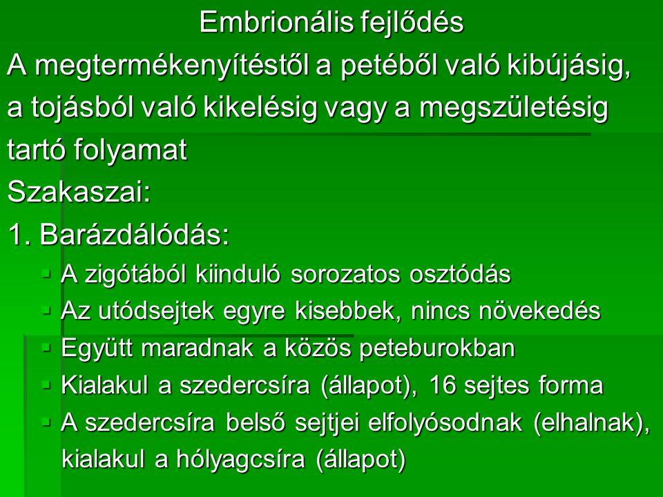 Embrionális fejlődés A megtermékenyítéstől a petéből való kibújásig, a tojásból való kikelésig vagy a megszületésig tartó folyamat Szakaszai: 1.