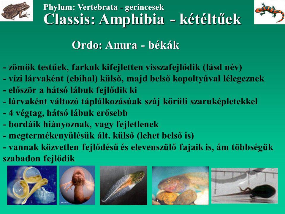 Ordo: Anura - békák Classis: Amphibia - kétéltűek Phylum: Vertebrata - gerincesek - zömök testűek, farkuk kifejletten visszafejlődik (lásd név) - vízi lárvaként (ebihal) külső, majd belső kopoltyúval lélegeznek - először a hátsó lábuk fejlődik ki - lárvaként változó táplálkozásúak száj körüli szaruképletekkel - 4 végtag, hátsó lábuk erősebb - bordáik hiányoznak, vagy fejletlenek - megtermékenyülésük ált.