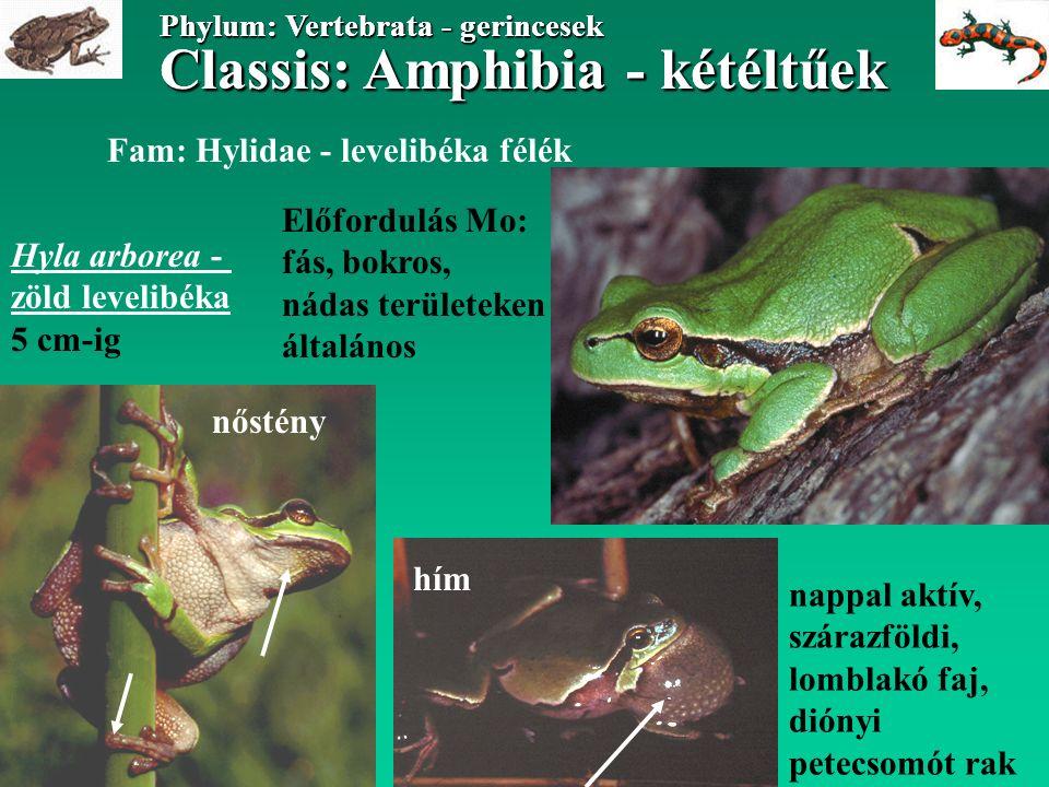 Classis: Amphibia - kétéltűek Phylum: Vertebrata - gerincesek Classis: Amphibia - kétéltűek Phylum: Vertebrata - gerincesek Fam: Hylidae - levelibéka félék Hyla arborea - zöld levelibéka 5 cm-ig Előfordulás Mo: fás, bokros, nádas területeken általános nappal aktív, szárazföldi, lomblakó faj, diónyi petecsomót rak hím nőstény