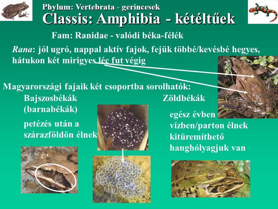 Classis: Amphibia - kétéltűek Phylum: Vertebrata - gerincesek Classis: Amphibia - kétéltűek Phylum: Vertebrata - gerincesek Fam: Ranidae - valódi béka-félék Magyarországi fajaik két csoportba sorolhatók: ZöldbékákBajszosbékák (barnabékák) Rana: jól ugró, nappal aktív fajok, fejük többé/kevésbé hegyes, hátukon két mirigyes léc fut végig petézés után a szárazföldön élnek egész évben vízben/parton élnek kitüremíthető hanghólyagjuk van