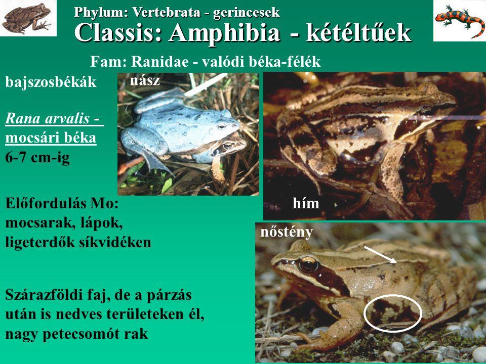 Classis: Amphibia - kétéltűek Phylum: Vertebrata - gerincesek Classis: Amphibia - kétéltűek Phylum: Vertebrata - gerincesek Fam: Ranidae - valódi béka-félék bajszosbékák Rana arvalis - mocsári béka 6-7 cm-ig Előfordulás Mo: mocsarak, lápok, ligeterdők síkvidéken Szárazföldi faj, de a párzás után is nedves területeken él, nagy petecsomót rak hím nőstény nász
