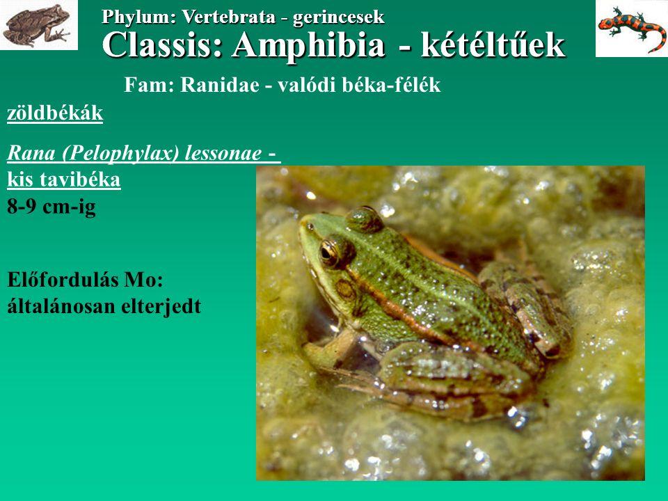 Classis: Amphibia - kétéltűek Phylum: Vertebrata - gerincesek Classis: Amphibia - kétéltűek Phylum: Vertebrata - gerincesek Fam: Ranidae - valódi béka-félék zöldbékák Rana (Pelophylax) lessonae - kis tavibéka 8-9 cm-ig Előfordulás Mo: általánosan elterjedt