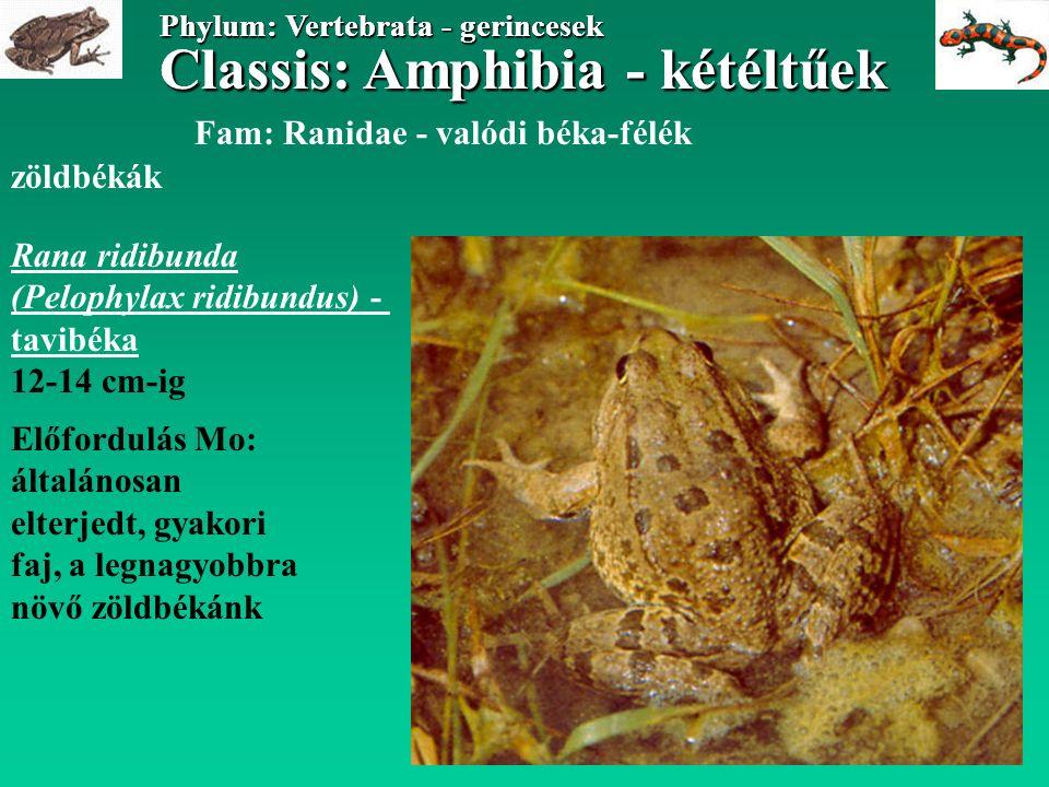 Classis: Amphibia - kétéltűek Phylum: Vertebrata - gerincesek Classis: Amphibia - kétéltűek Phylum: Vertebrata - gerincesek Fam: Ranidae - valódi béka-félék zöldbékák Rana ridibunda (Pelophylax ridibundus) - tavibéka 12-14 cm-ig Előfordulás Mo: általánosan elterjedt, gyakori faj, a legnagyobbra növő zöldbékánk
