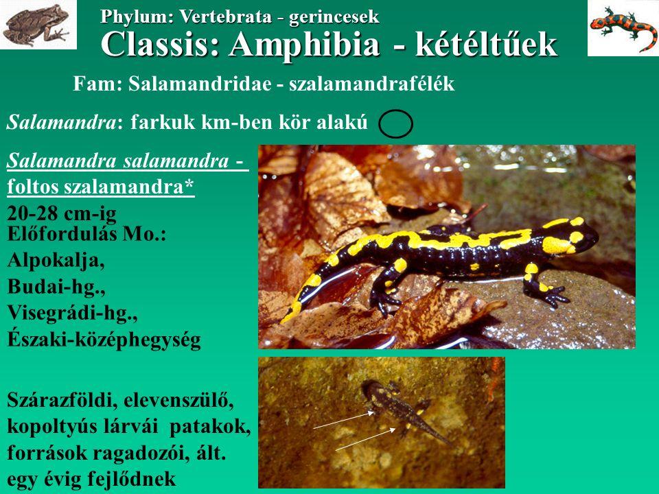 Classis: Amphibia - kétéltűek Phylum: Vertebrata - gerincesek Fam: Salamandridae - szalamandrafélék Salamandra salamandra - foltos szalamandra* 20-28 cm-ig Előfordulás Mo.: Alpokalja, Budai-hg., Visegrádi-hg., Északi-középhegység Szárazföldi, elevenszülő, kopoltyús lárvái patakok, források ragadozói, ált.