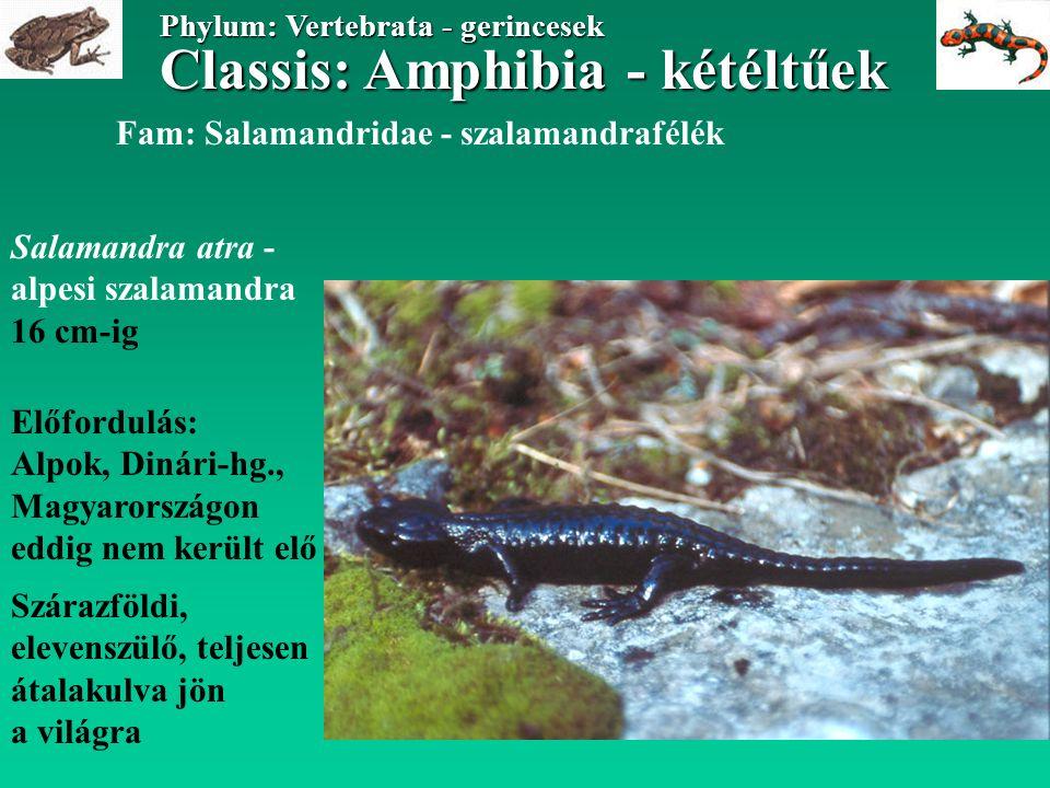 Classis: Amphibia - kétéltűek Phylum: Vertebrata - gerincesek Salamandra atra - alpesi szalamandra 16 cm-ig Előfordulás: Alpok, Dinári-hg., Magyarországon eddig nem került elő Szárazföldi, elevenszülő, teljesen átalakulva jön a világra Fam: Salamandridae - szalamandrafélék