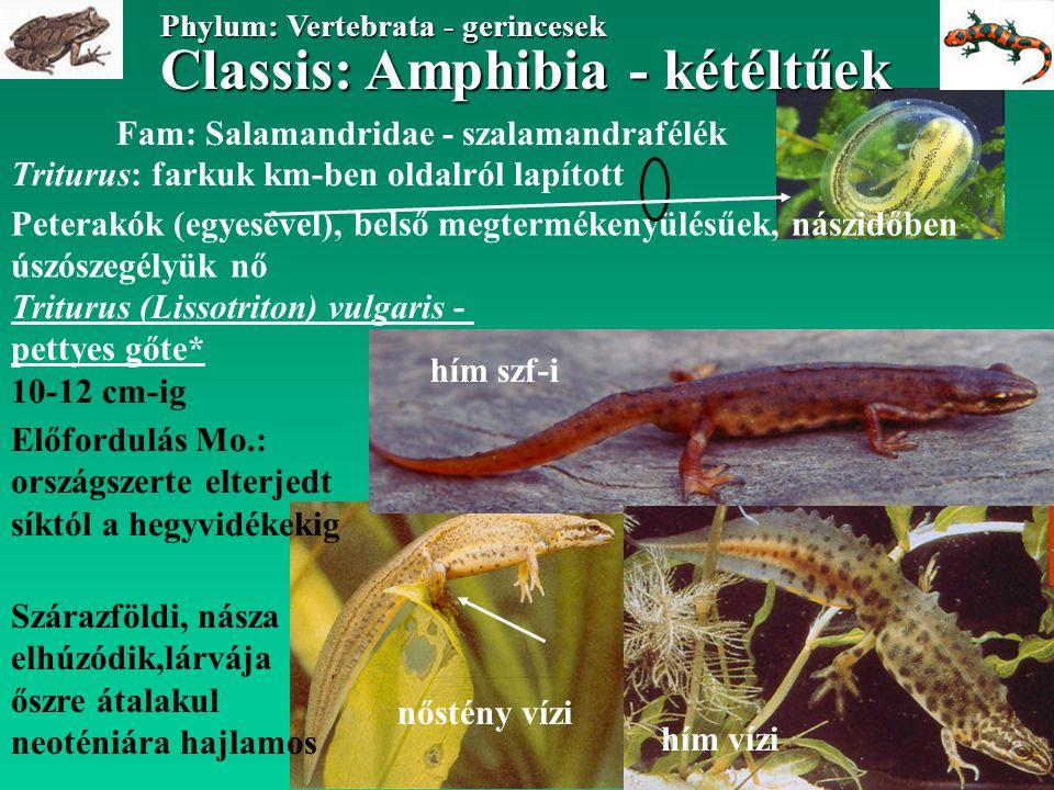 Classis: Amphibia - kétéltűek Phylum: Vertebrata - gerincesek Classis: Amphibia - kétéltűek Phylum: Vertebrata - gerincesek Fam: Pelobatidae - ásóbéka félék Pelobates fuscus - barna ásóbéka 7-8 cm-ig Előfordulás Mo: laza talajú területeken általánosan elterjedt Éjszaka aktív, szárazföldi, pusztákon is él, nappal elássa magát többsoros petezsinórt rak