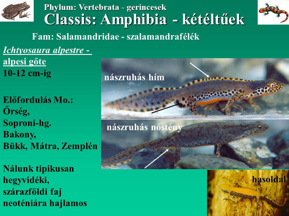 Classis: Amphibia - kétéltűek Phylum: Vertebrata - gerincesek Classis: Amphibia - kétéltűek Phylum: Vertebrata - gerincesek Triturus (Lissotriton) montandoni - kárpáti gőte 10 cm-ig Fam: Salamandridae - szalamandrafélék Előfordulás: Északi-, Keleti- Kárpátok Magyarországon eddig nem került elő tipikusan hegyvidéki, szárazföldi faj nászruhás hím nőstény hasoldal
