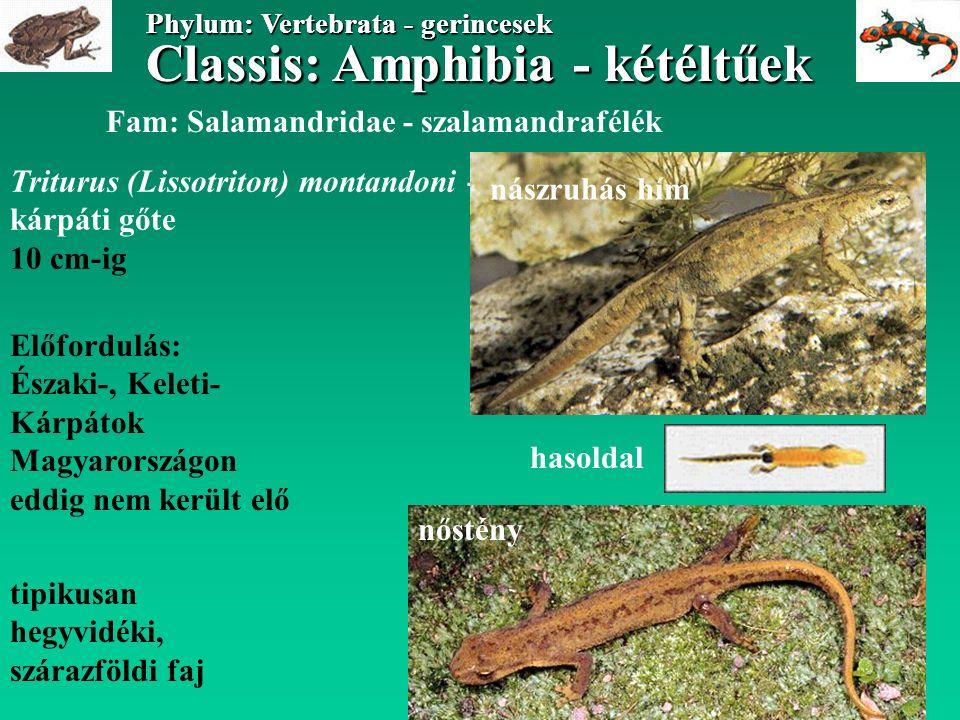 Classis: Amphibia - kétéltűek Phylum: Vertebrata - gerincesek Classis: Amphibia - kétéltűek Phylum: Vertebrata - gerincesek Tarajos gőte fajcsoport 4 (6) morfológiailag hasonló faj, közülük Magyarországon 2-3 fordul elő: (Triturus cristatus) Triturus carnifex Triturus dobrogicus nagyobb termetű (12- 18 cm), sötét színezetű, feketén pettyezett téglavörös hasú fajok, hímjük nászidőszakban erős úszószegélyt növeszt, szárazföldiek Fam: Salamandridae - szalamandrafélék