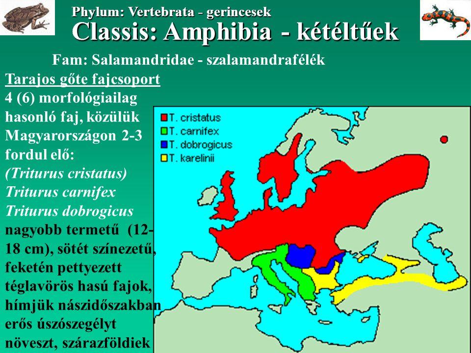 Classis: Amphibia - kétéltűek Phylum: Vertebrata - gerincesek Classis: Amphibia - kétéltűek Phylum: Vertebrata - gerincesek Fam: Bufonidae - varangyfélék Bufo bufo - barna varangy hím