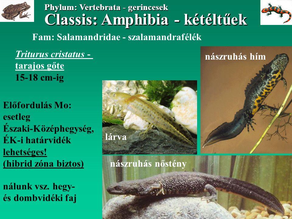 Classis: Amphibia - kétéltűek Phylum: Vertebrata - gerincesek Classis: Amphibia - kétéltűek Phylum: Vertebrata - gerincesek Fam: Salamandridae - szalamandrafélék Triturus carnifex - alpesi tarajos gőte 14-15 cm-ig Előfordulás Mo: Kőszeghegyalja, Őrség ny-i része hegy/dombvidéki, szárazföldi faj nászruhás hím nőstény