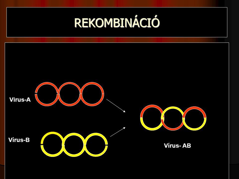REKOMBINÁCIÓ Virus-A Vírus-B Vírus- AB