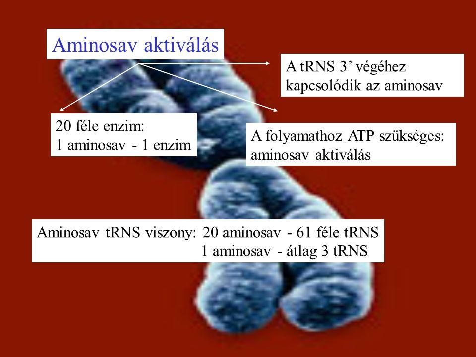 Aminosav aktiválás 20 féle enzim: 1 aminosav - 1 enzim A folyamathoz ATP szükséges: aminosav aktiválás A tRNS 3' végéhez kapcsolódik az aminosav Aminosav tRNS viszony: 20 aminosav - 61 féle tRNS 1 aminosav - átlag 3 tRNS