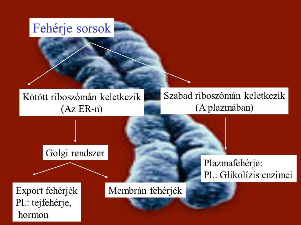 Fehérje sorsok Kötött riboszómán keletkezik (Az ER-n) Golgi rendszer Export fehérjék Pl.: tejfehérje, hormon Membrán fehérjék Szabad riboszómán keletkezik (A plazmában) Plazmafehérje: Pl.: Glikolízis enzimei