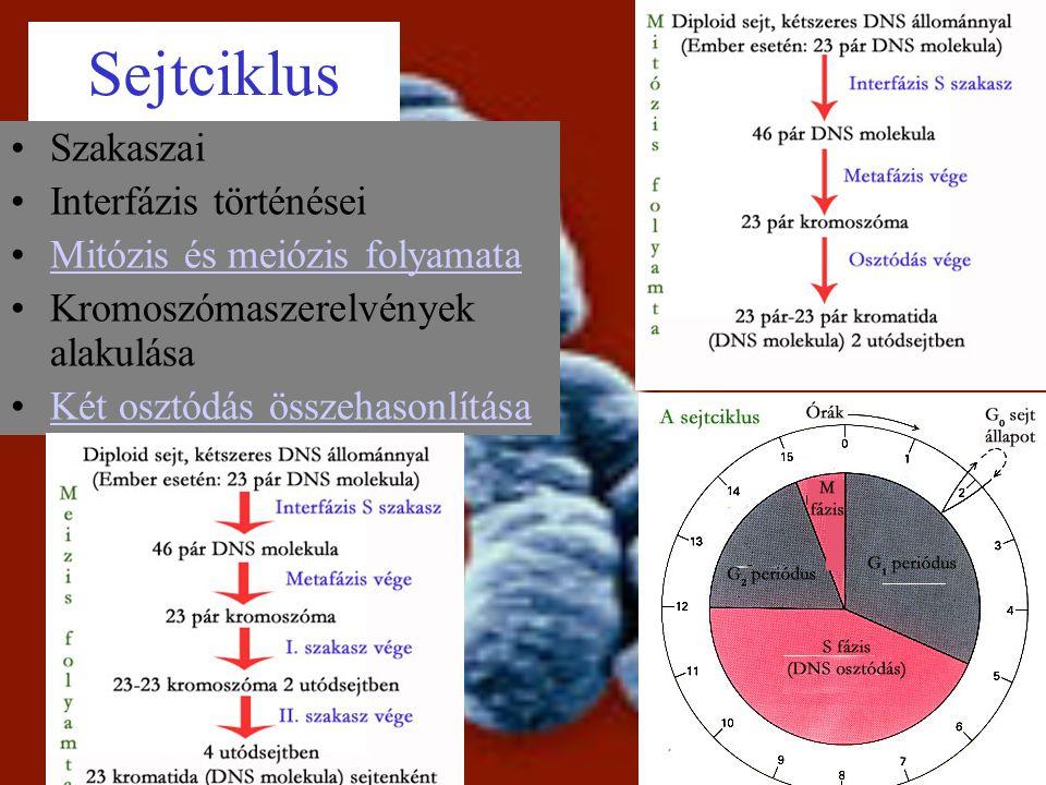 Sejtciklus Szakaszai Interfázis történései Mitózis és meiózis folyamata Kromoszómaszerelvények alakulása Két osztódás összehasonlítása