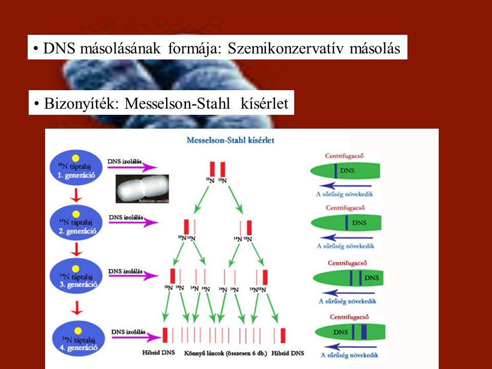 DNS másolásának formája: Szemikonzervatív másolás Bizonyíték: Messelson-Stahl kísérlet