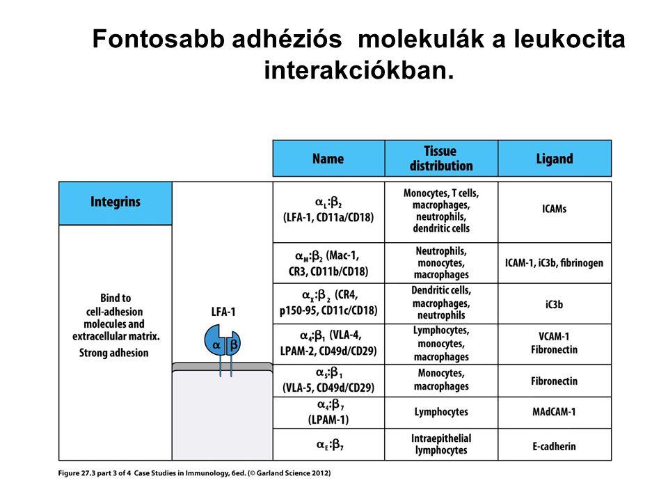 Fontosabb adhéziós molekulák a leukocita interakciókban.