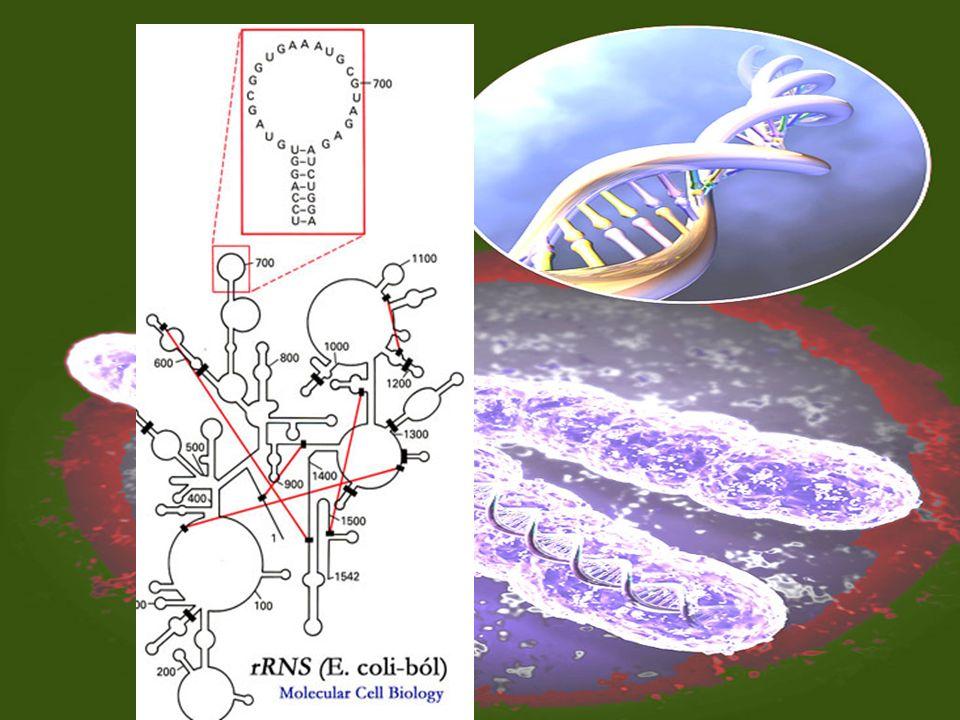 RNS típusai feladata Típusai mRNS tRNS rRNS Feladatai