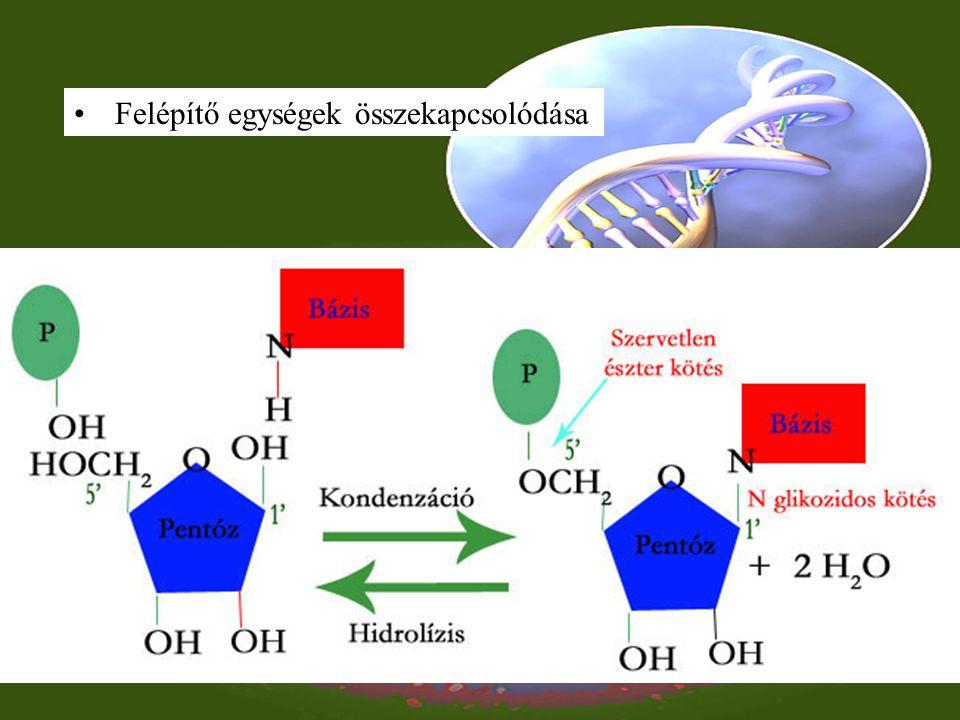 RNS felépítése Kémiai felépítése Egyszálú, Hurkokat képez, Különleges bázisok