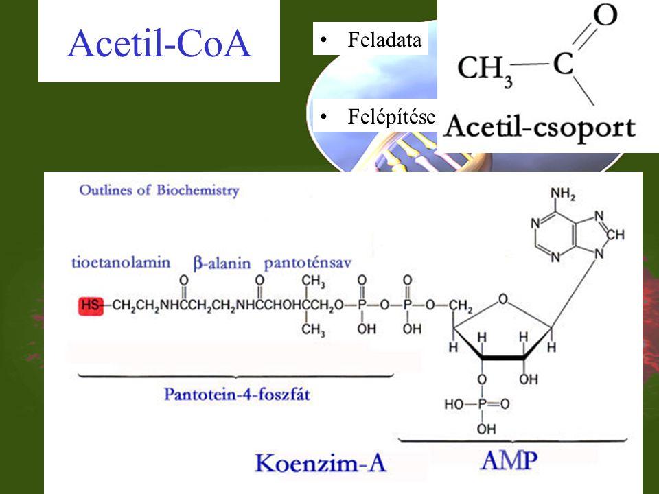 Biológiailag fontos nukleotidok: koenzimek Energia szállító és raktározó nukleotidok ATP, (GTP, CTP, TTP, UTP) Enzim folyamatokban szerepet kapó nukleotidok cAMP Kémiai csoportokat szállító nukleotidok Acetil csoportot szállító: acetil-CoA H +, és e - szállító nukleotidok NAD(P), FAD Jelentése