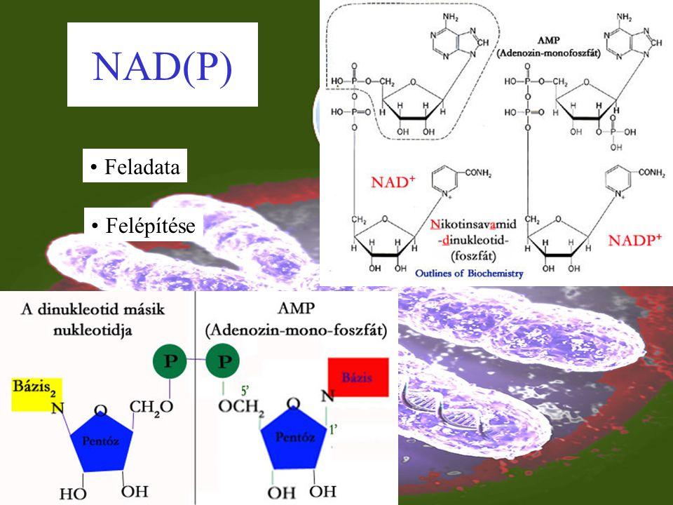 Jelentősége Felépítő és lebontó folyamatokban C atomok szállítása Acetil csoport aktiválása