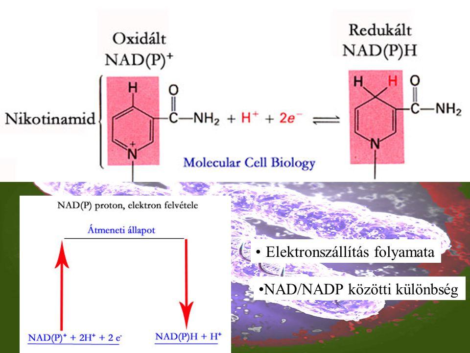 Elektronszállítás folyamata NAD/NADP közötti különbség