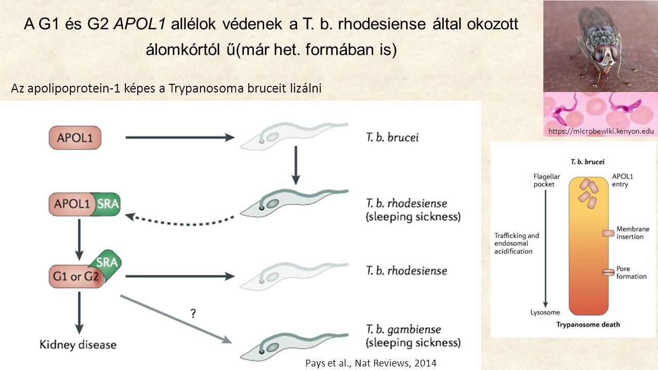 A G1 és G2 APOL1 allélok védenek a T. b. rhodesiense által okozott álomkórtól ű(már het.