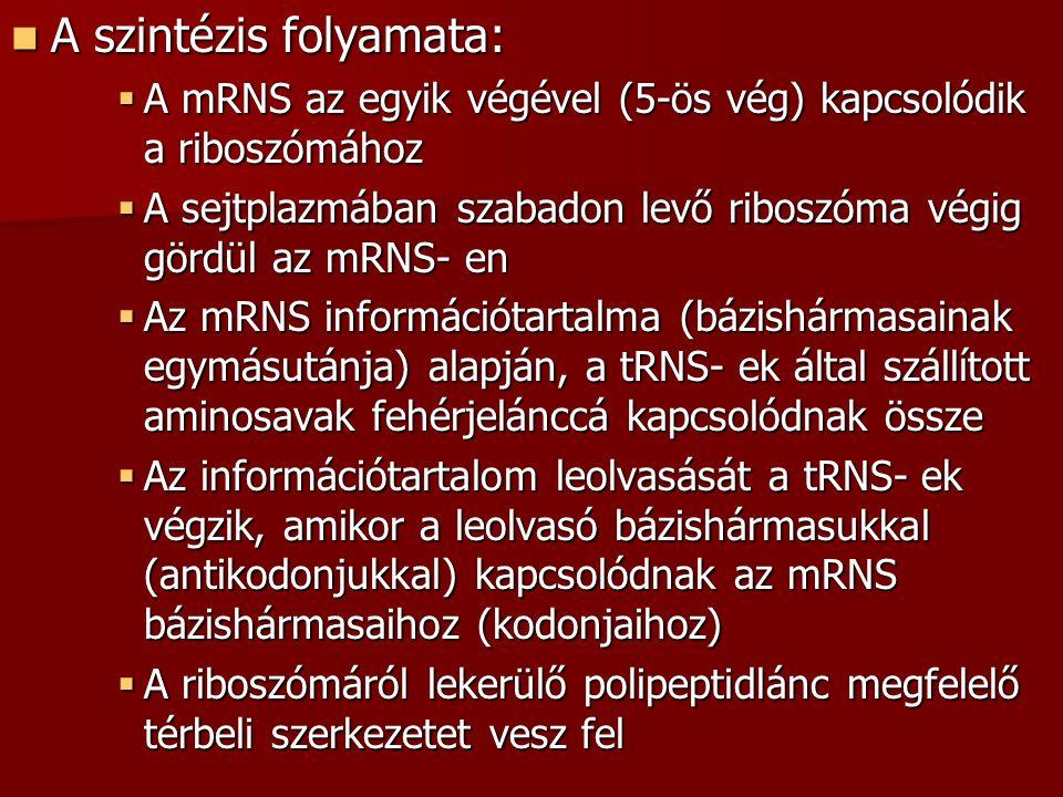 A szintézis folyamata: A szintézis folyamata:  A mRNS az egyik végével (5-ös vég) kapcsolódik a riboszómához  A sejtplazmában szabadon levő riboszóma végig gördül az mRNS- en  Az mRNS információtartalma (bázishármasainak egymásutánja) alapján, a tRNS- ek által szállított aminosavak fehérjelánccá kapcsolódnak össze  Az információtartalom leolvasását a tRNS- ek végzik, amikor a leolvasó bázishármasukkal (antikodonjukkal) kapcsolódnak az mRNS bázishármasaihoz (kodonjaihoz)  A riboszómáról lekerülő polipeptidlánc megfelelő térbeli szerkezetet vesz fel