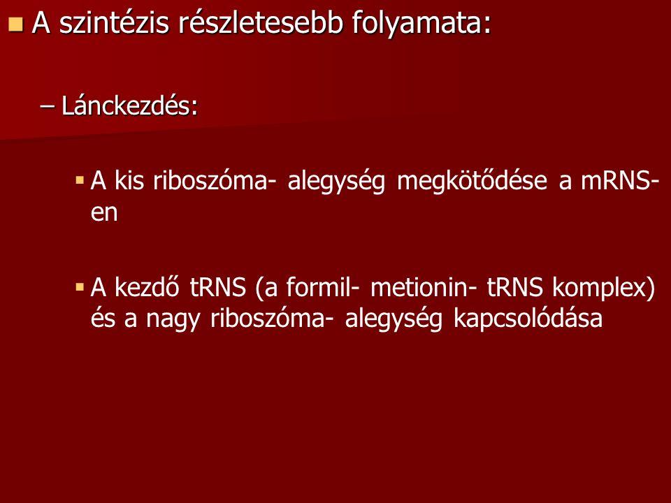 A szintézis részletesebb folyamata: A szintézis részletesebb folyamata: –Lánckezdés:   A kis riboszóma- alegység megkötődése a mRNS- en   A kezdő tRNS (a formil- metionin- tRNS komplex) és a nagy riboszóma- alegység kapcsolódása
