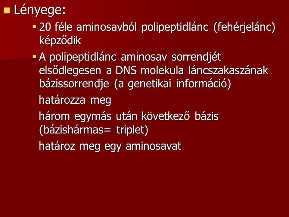 Lényege: Lényege:  20 féle aminosavból polipeptidlánc (fehérjelánc) képződik  A polipeptidlánc aminosav sorrendjét elsődlegesen a DNS molekula láncszakaszának bázissorrendje (a genetikai információ) határozza meg határozza meg három egymás után következő bázis (bázishármas= triplet) három egymás után következő bázis (bázishármas= triplet) határoz meg egy aminosavat határoz meg egy aminosavat