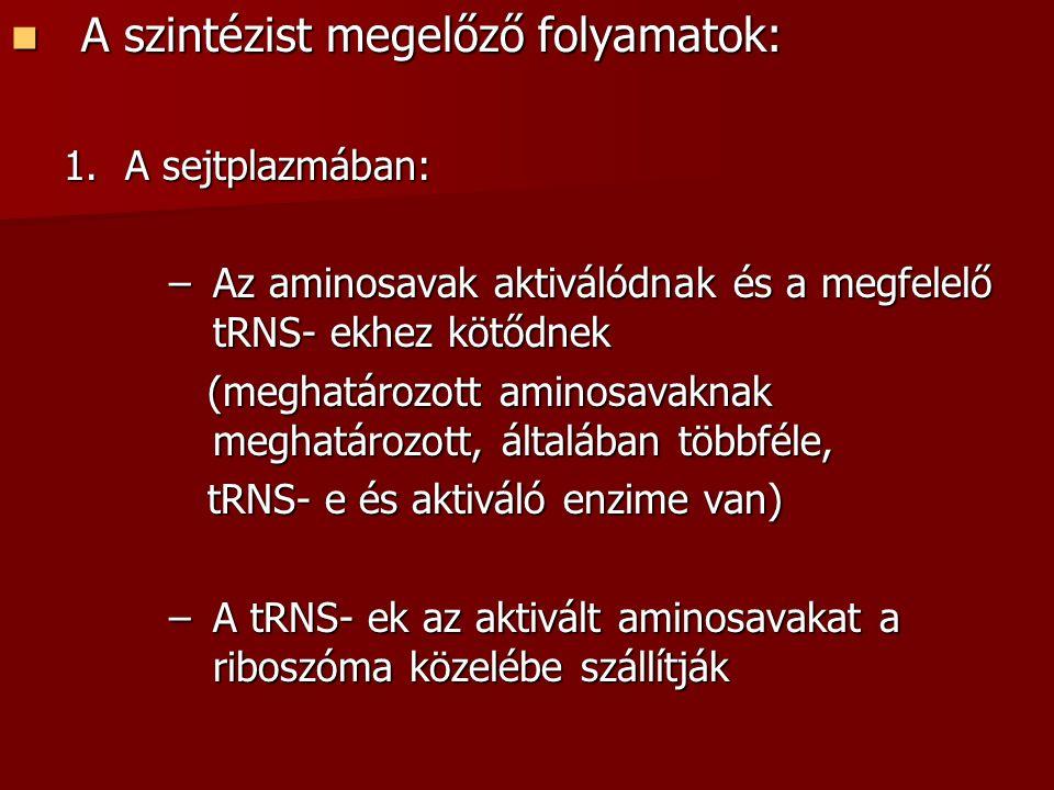 A szintézist megelőző folyamatok: A szintézist megelőző folyamatok: 1.A sejtplazmában: –Az aminosavak aktiválódnak és a megfelelő tRNS- ekhez kötődnek (meghatározott aminosavaknak meghatározott, általában többféle, (meghatározott aminosavaknak meghatározott, általában többféle, tRNS- e és aktiváló enzime van) tRNS- e és aktiváló enzime van) –A tRNS- ek az aktivált aminosavakat a riboszóma közelébe szállítják
