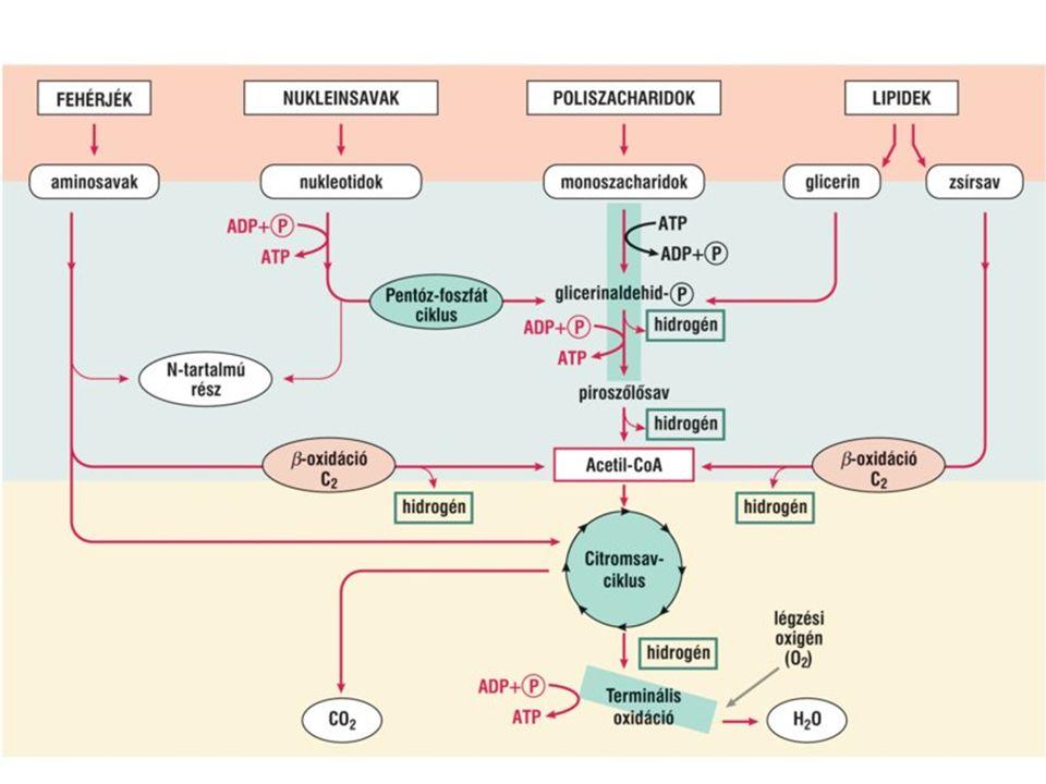 Pentóz-foszfát ciklus (Glükóz direkt oxidációja)
