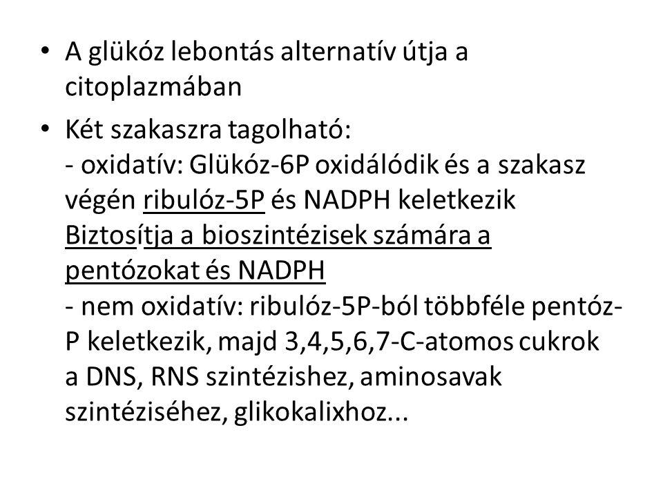 A glükóz lebontás alternatív útja a citoplazmában Két szakaszra tagolható: - oxidatív: Glükóz-6P oxidálódik és a szakasz végén ribulóz-5P és NADPH keletkezik Biztosítja a bioszintézisek számára a pentózokat és NADPH - nem oxidatív: ribulóz-5P-ból többféle pentóz- P keletkezik, majd 3,4,5,6,7-C-atomos cukrok a DNS, RNS szintézishez, aminosavak szintéziséhez, glikokalixhoz...
