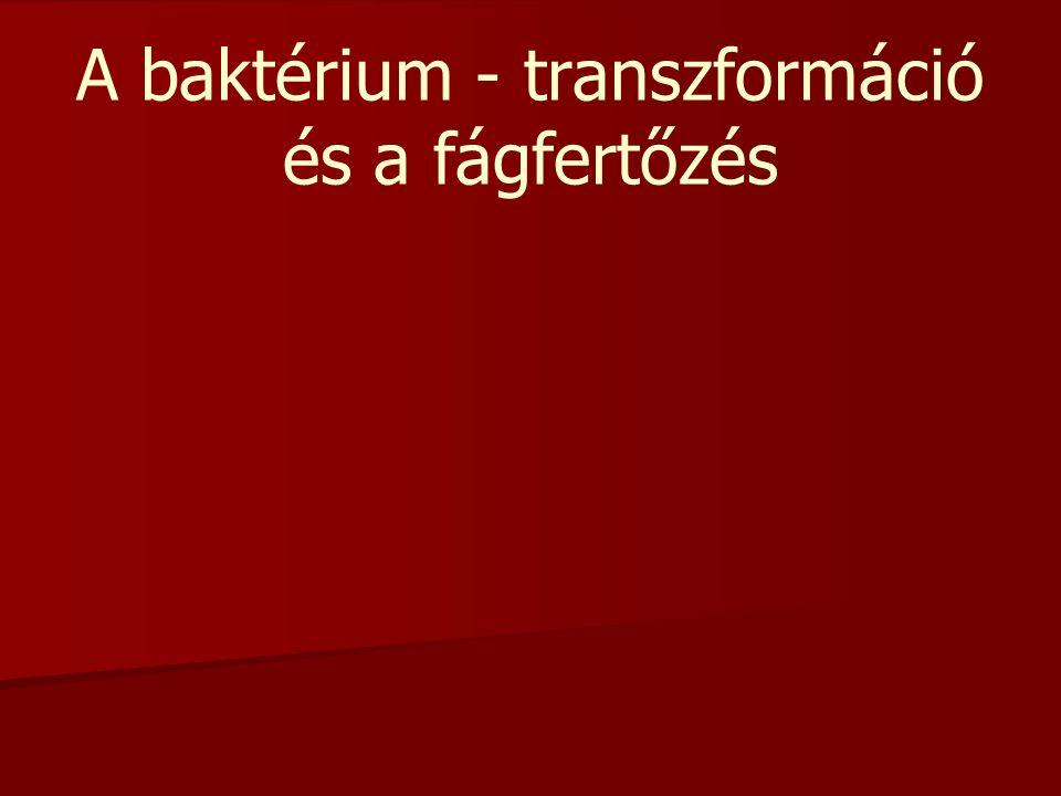 A baktérium - transzformáció és a fágfertőzés