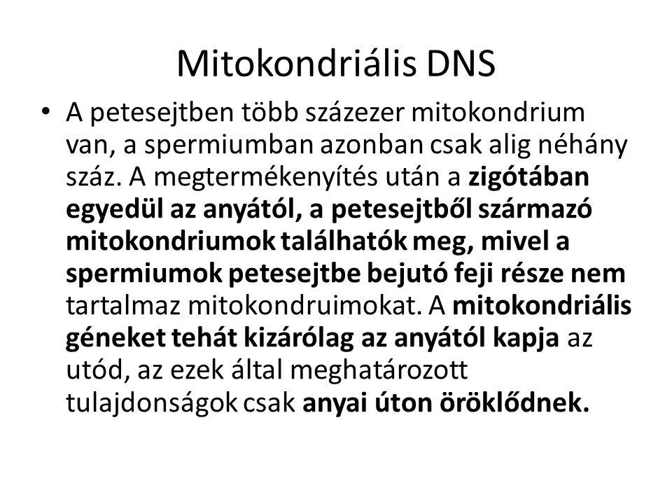 Mitokondriális DNS A petesejtben több százezer mitokondrium van, a spermiumban azonban csak alig néhány száz. A megtermékenyítés után a zigótában egye
