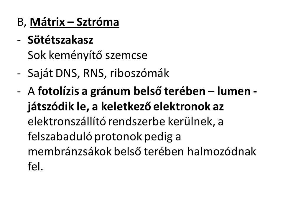 B, Mátrix – Sztróma -Sötétszakasz Sok keményítő szemcse -Saját DNS, RNS, riboszómák -A fotolízis a gránum belső terében – lumen - játszódik le, a kele