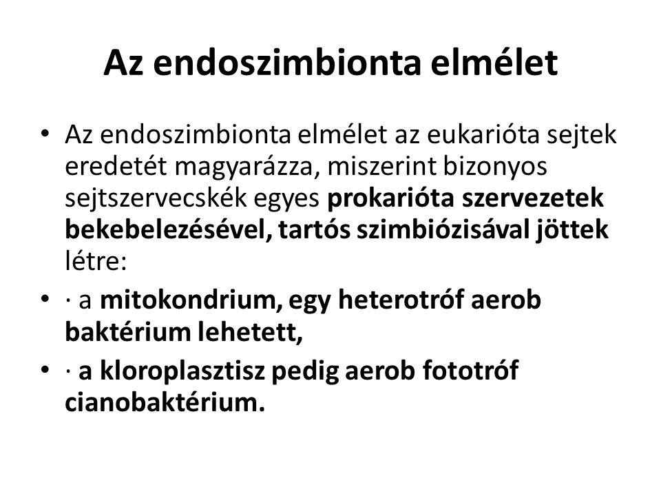 Az endoszimbionta elmélet Az endoszimbionta elmélet az eukarióta sejtek eredetét magyarázza, miszerint bizonyos sejtszervecskék egyes prokarióta szervezetek bekebelezésével, tartós szimbiózisával jöttek létre: · a mitokondrium, egy heterotróf aerob baktérium lehetett, · a kloroplasztisz pedig aerob fototróf cianobaktérium.