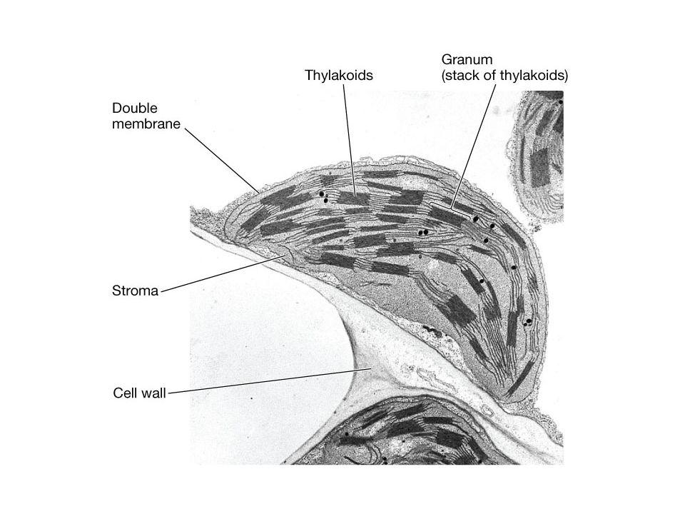B, Mátrix – Sztróma -Sötétszakasz Sok keményítő szemcse -Saját DNS, RNS, riboszómák -A fotolízis a gránum belső terében – lumen - játszódik le, a keletkező elektronok az elektronszállító rendszerbe kerülnek, a felszabaduló protonok pedig a membránzsákok belső terében halmozódnak fel.