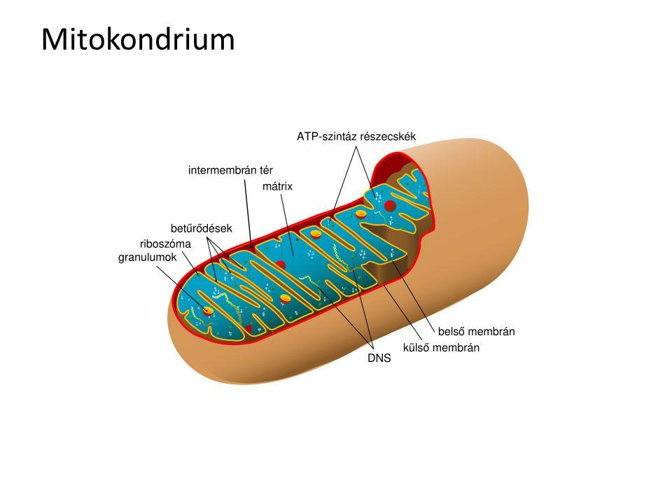 Mitokondrium
