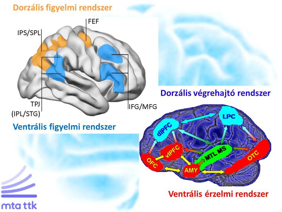 Dorzális végrehajtó rendszer Ventrális érzelmi rendszer Dorzális figyelmi rendszer Ventrális figyelmi rendszer