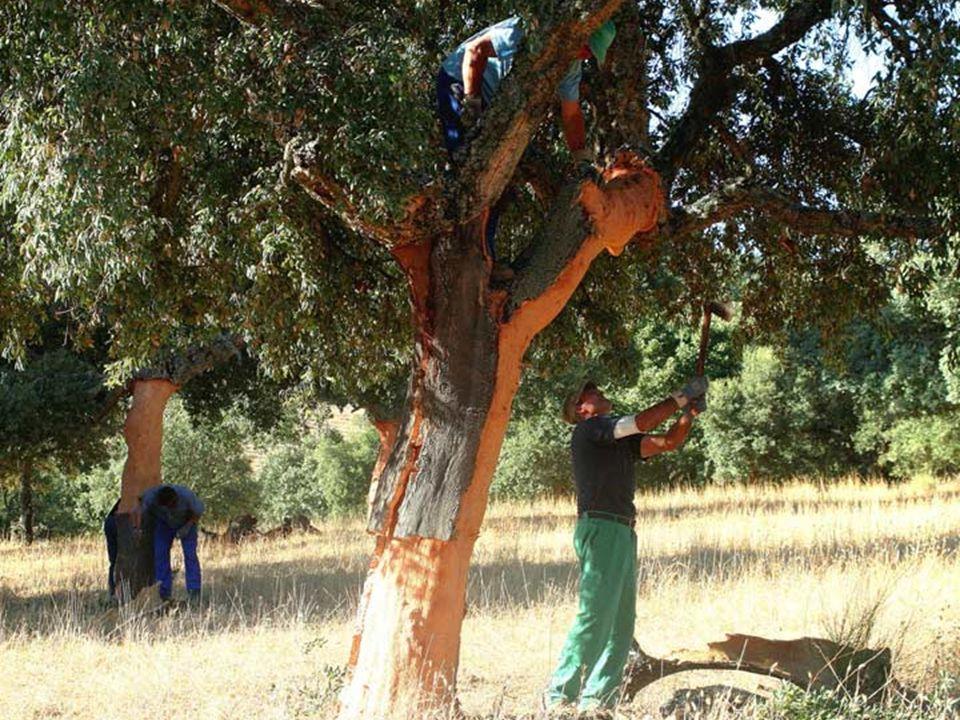 A fák megakadályozzák a helyi környezetnek kiszáradását, és így aktívan segíti fenntartani ezt a ritka ökoszisztémát.