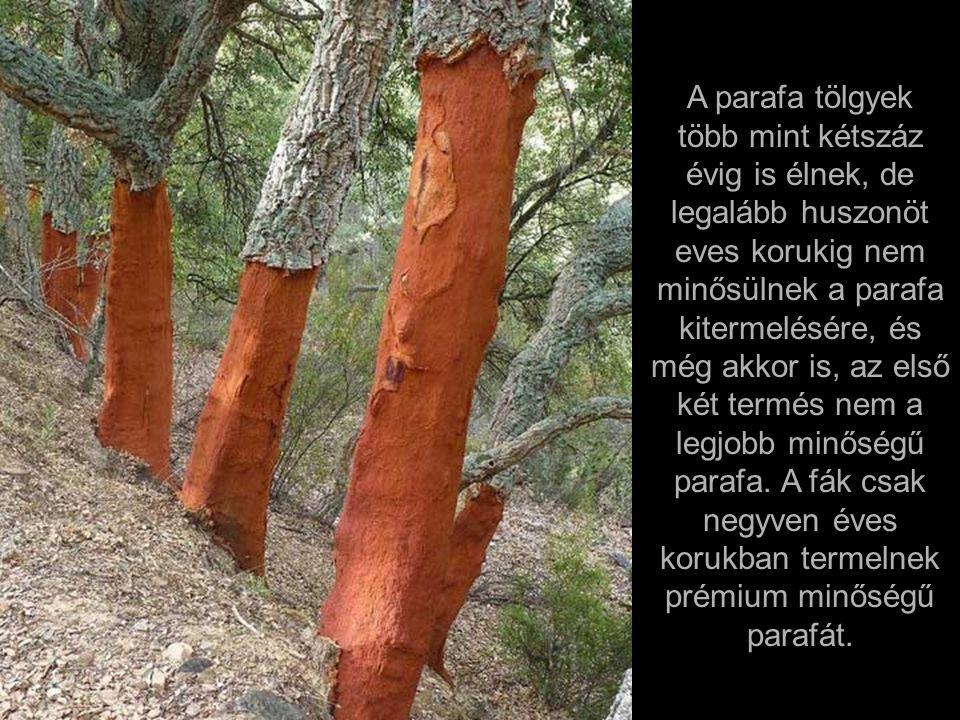A parafa szüretet azonban úgy kell elvégezni, hogy a fákon bármilyen maradandó kárt ne okozzanak - egyébként, kilenc évvel később használhatatlan lesz.