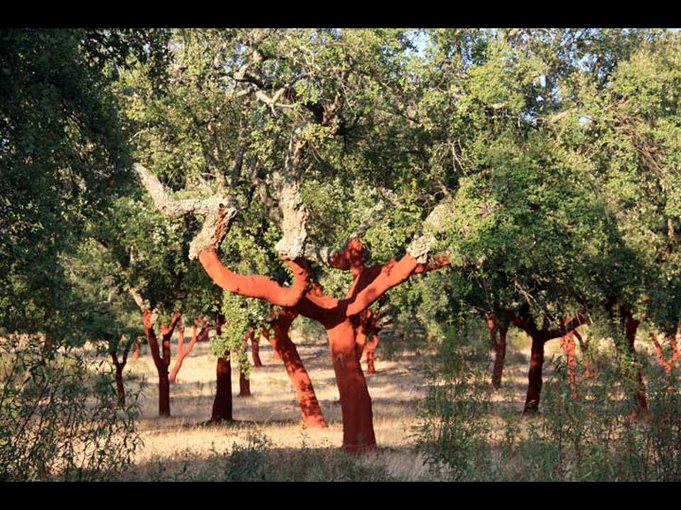 Végezetül, a parafa termellése varázslatos, ami sok fát meztelené, és csupasszá változtat, amely Spanyolország és Portugália tájainak es részét egyedivé, különössé varázsol.