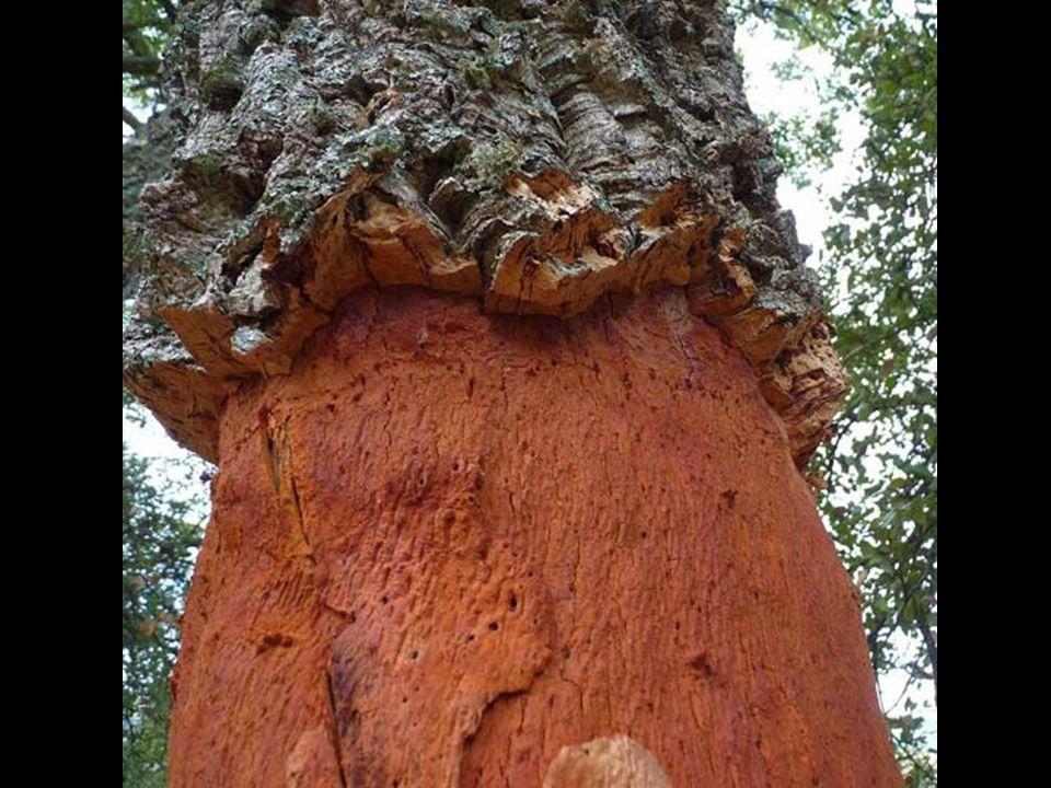 A parafa tölgy erdők az Ibériai-félszigeten otthont adnak számos veszélyeztetett fajnak kik sokkal nehezebben boldogulnának a paratölgy erdő jelenléte nélkül.
