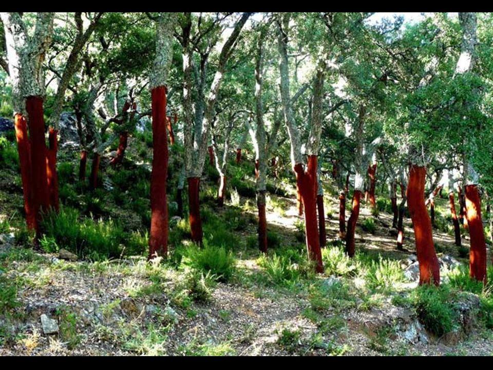 Miután a fák elérték az érettséget, akkor is csak minden kilenc évben van parafa szüret .