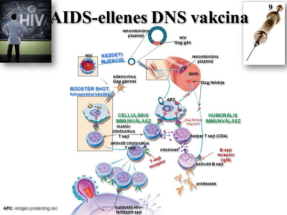 HIV rekombináns plazmid HIV Gag gén HIV Gag gén izom Gag fehérje rekombináns plazmid KEZDETI INJEKCIÓ KEZDETI INJEKCIÓ BOOSTER SHOT, hónapokkal később BOOSTER SHOT, hónapokkal később adenovírus Gag génnel adenovírus Gag génnel CELLULÁRIS IMMUNVÁLASZ CELLULÁRIS IMMUNVÁLASZ HUMORÁLIS IMMUNVÁLASZ HUMORÁLIS IMMUNVÁLASZ APC Gag fehérje fragment helper T sejt (CD4) inaktív citotoxikus T sejt inaktív citotoxikus T sejt aktivált citotoxikus T sejt aktivált citotoxikus T sejt citokinek aktivált B sejt antitestek haldokló HIV– fertőzött sejt APC: antigen presenting cell 9 9 B-sejt receptor (IgM) T-sejt receptor AIDS-ellenes DNS vakcina
