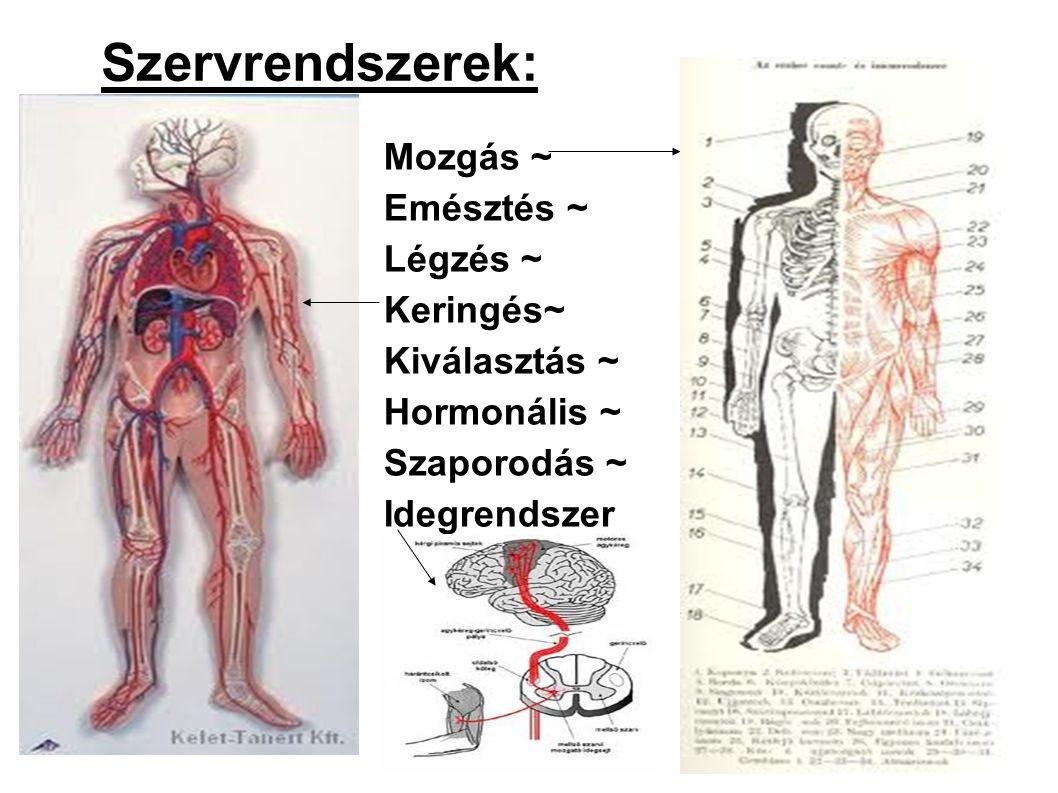 Mozgás ~ Emésztés ~ Légzés ~ Keringés~ Kiválasztás ~ Hormonális ~ Szaporodás ~ Idegrendszer Szervrendszerek: