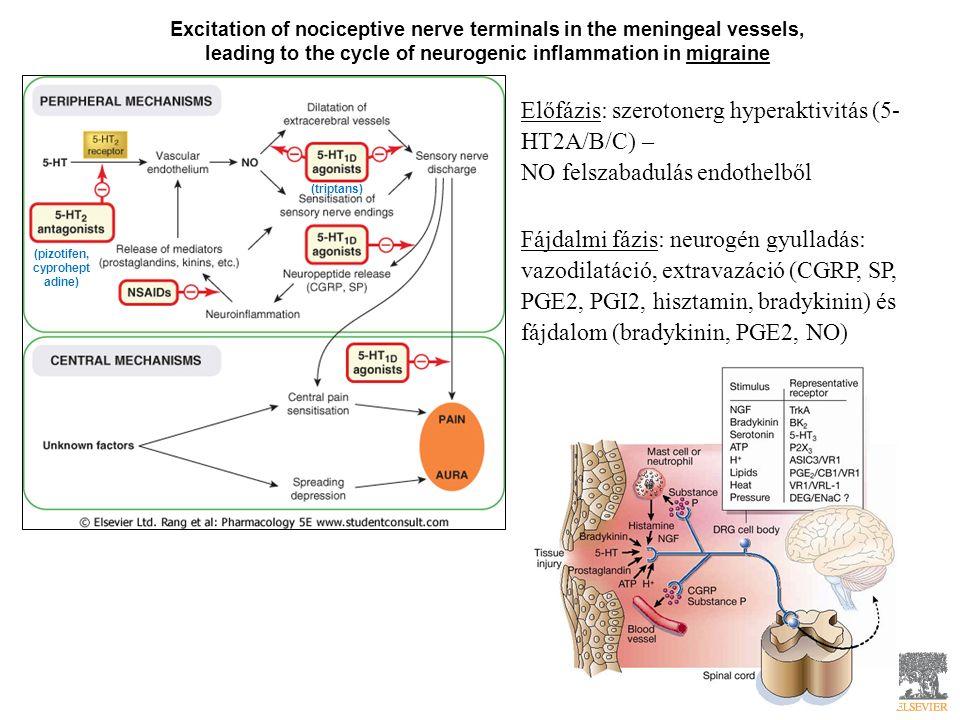 Excitation of nociceptive nerve terminals in the meningeal vessels, leading to the cycle of neurogenic inflammation in migraine (triptans) (pizotifen, cyprohept adine) Előfázis: szerotonerg hyperaktivitás (5- HT2A/B/C) – NO felszabadulás endothelből Fájdalmi fázis: neurogén gyulladás: vazodilatáció, extravazáció (CGRP, SP, PGE2, PGI2, hisztamin, bradykinin) és fájdalom (bradykinin, PGE2, NO)