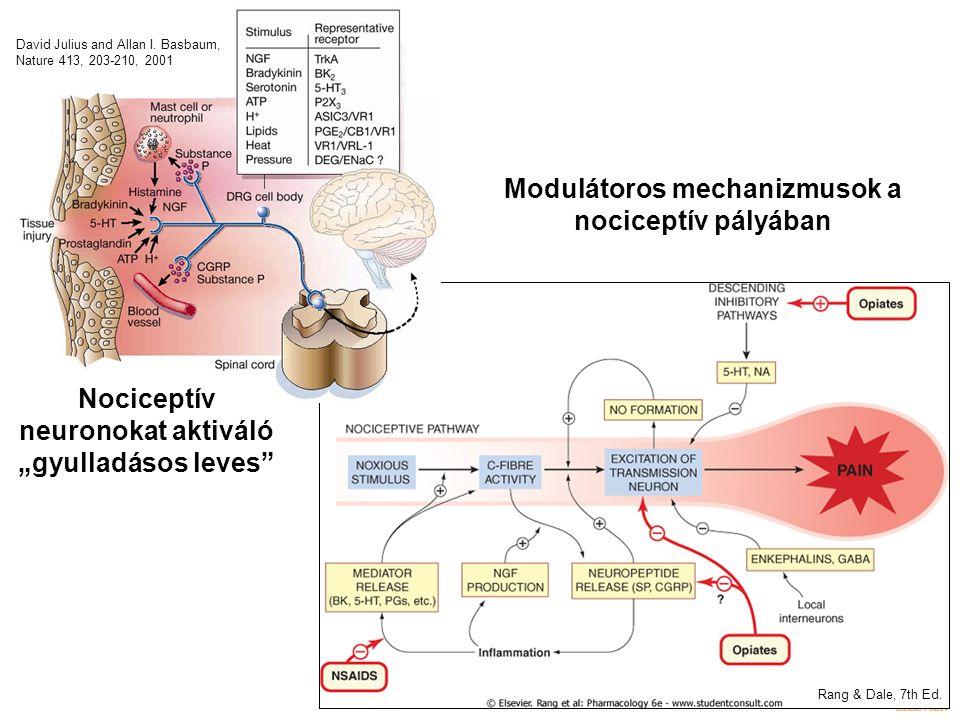 """Modulátoros mechanizmusok a nociceptív pályában Rang & Dale, 7th Ed. Nociceptív neuronokat aktiváló """"gyulladásos leves"""" David Julius and Allan I. Basb"""
